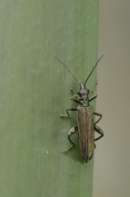 Oedemera virescens photo