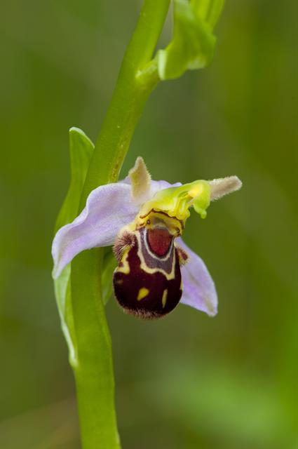 Ophrys abeille (Ophrys apifera) photo
