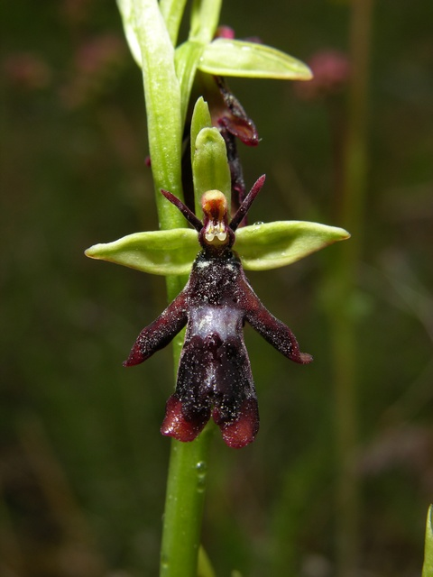 Ophrys mouche (Ophrys insectifera)