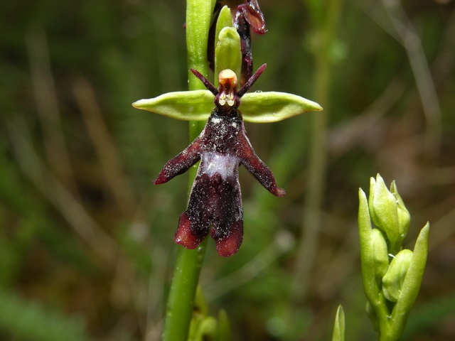 Ophrys mouche (Ophrys insectifera) photo