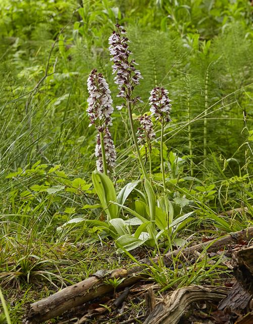 Orchis pourpre (Orchis purpurea) photo