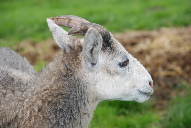Ovis aries (Gotlandsk udegangsfaar) photo