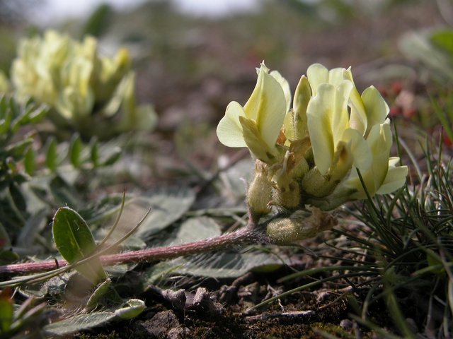Oxytropis des alpes (Oxytropis campestris) photo