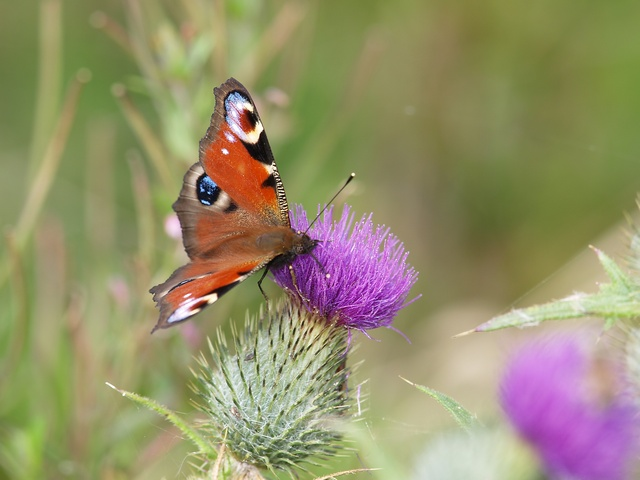 Paon-du-jour (Aglais io) photo