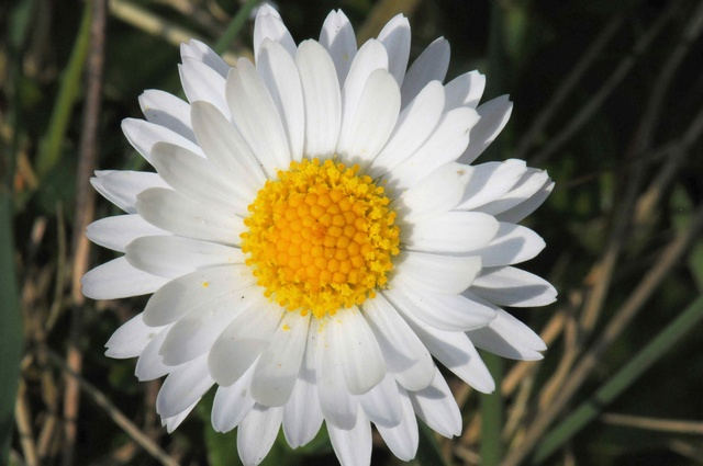 Pâquerette (Bellis perennis) photo