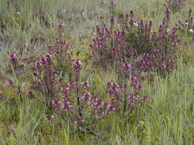 Pédiculaire des marais (Pedicularis palustris) photo