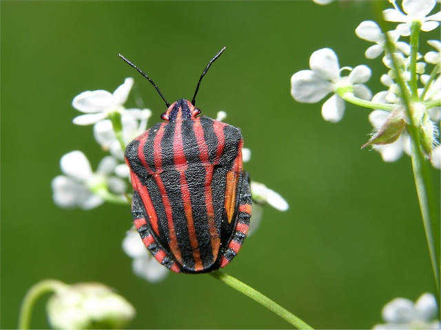 Pentatome rayé (Graphosoma lineatum) photo