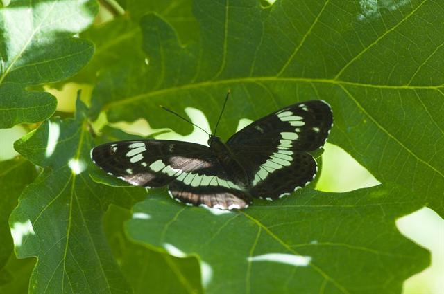 Petit Sylvain (Limenitis camilla) photo