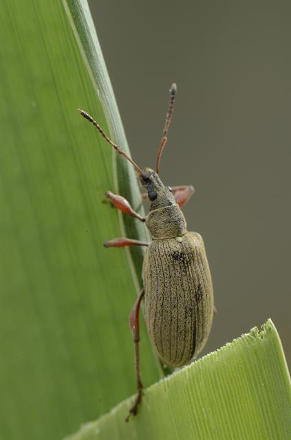 Phyllobius calcaratus photo