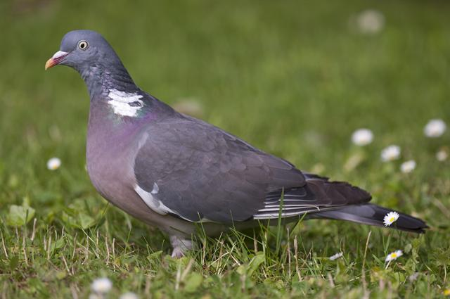 Pigeon ramier (Columba palumbus) photo