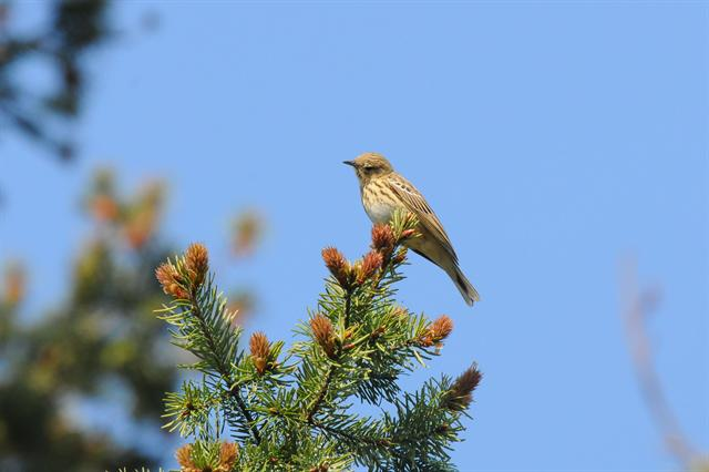 Pipit des arbres (Anthus trivialis) photo