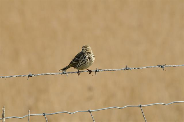 Pipit farlouse (Anthus pratensis) photo