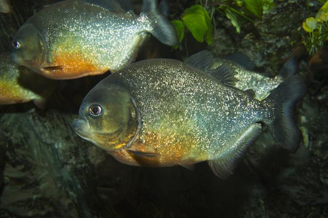 Piranha rouge (Pygocentrus nattereri) photo