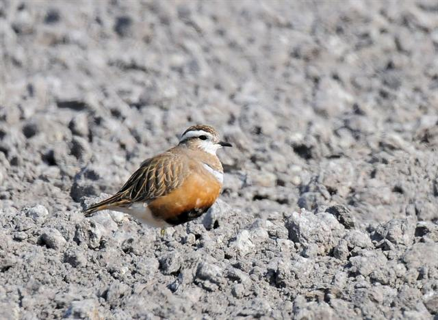 Pluvier guignard (Charadrius morinellus) photo