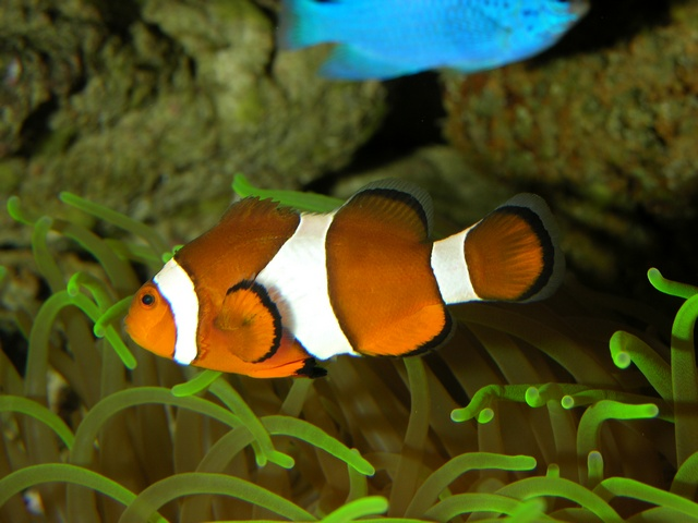 Poisson clown à trois bandes (Amphiprion ocellaris) photo