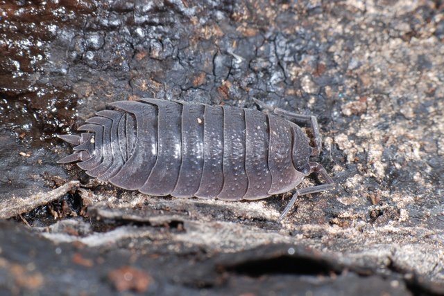 Porcellio scaber photo