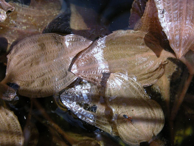Potamogeton coloratus photo