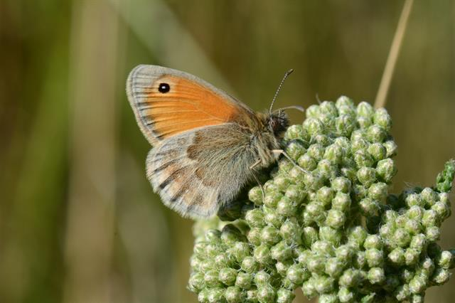Procris (Coenonympha pamphilus) photo