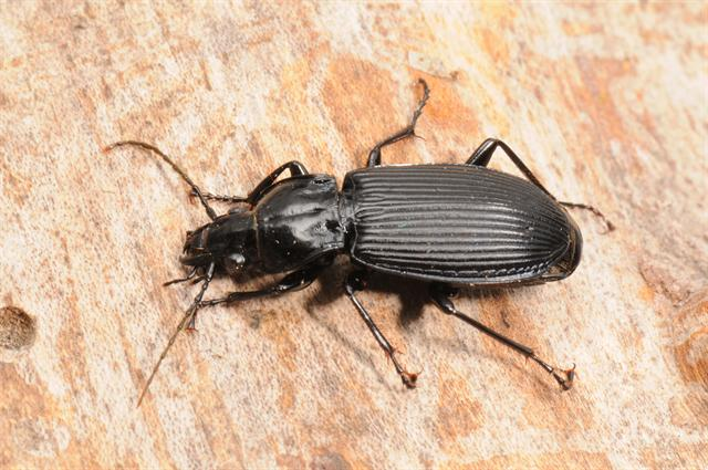 Pterostichus niger photo