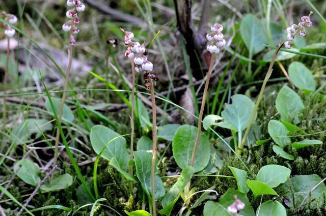 pyrole mineure (Pyrola minor) photo