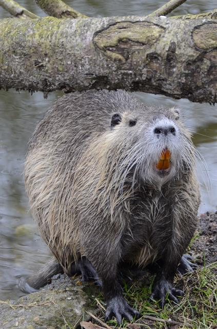 Ragondin (Myocastor coypus) photo