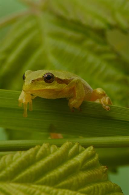 Rainette verte (Hyla arborea) photo