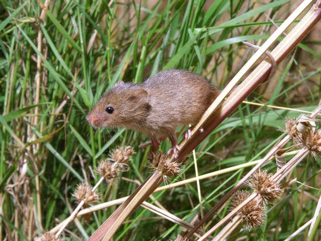 Rat des moissons (Micromys minutus) photo