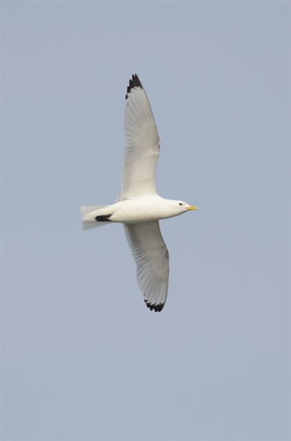 Mouette tridactyle (Rissa tridactyla)