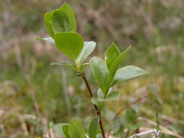 Saule laurier (Salix pentandra) photo