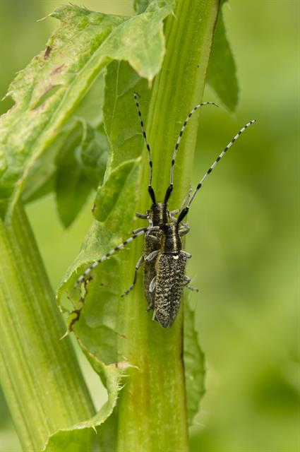 Agapanthia villosoviridescens photo