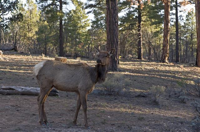 Cervus canadensis photo
