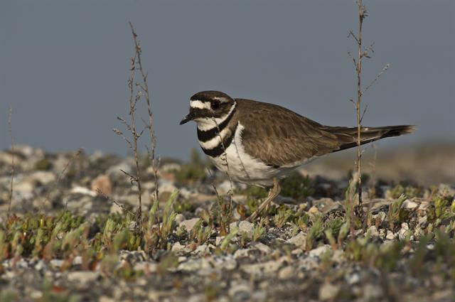 Charadrius vociferus photo