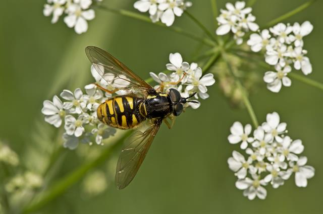 Chrysotoxum cautum photo