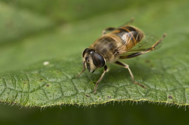 Eristalis tenax photo