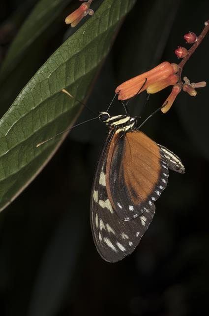 Heliconius hecale photo