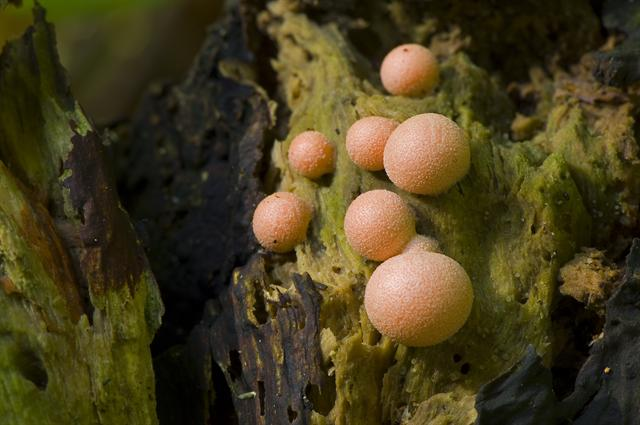 Lycogala epidendrum photo