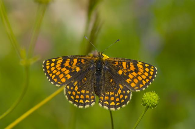 Melitaea athalia photo