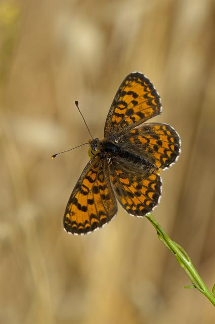Melitaea trivia photo