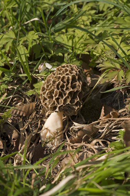 Morchella esculenta photo
