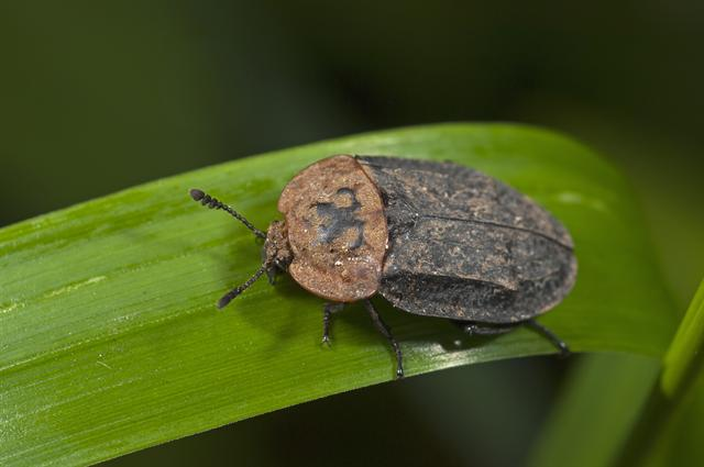Oeceoptoma thoracica photo