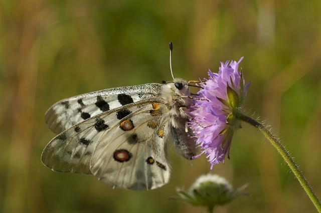 Le Grand Apollon (Parnassius apollo)