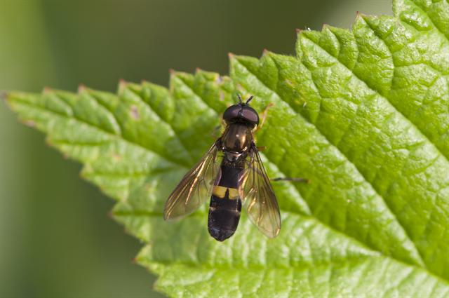 Platycheirus rosarum photo