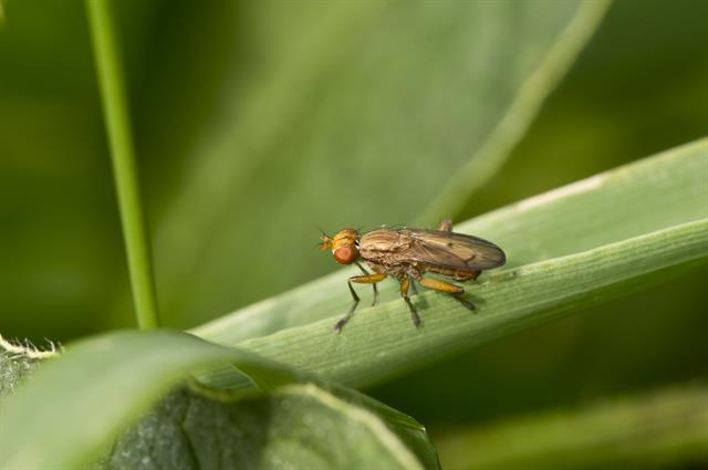 Tetanocera elata photo