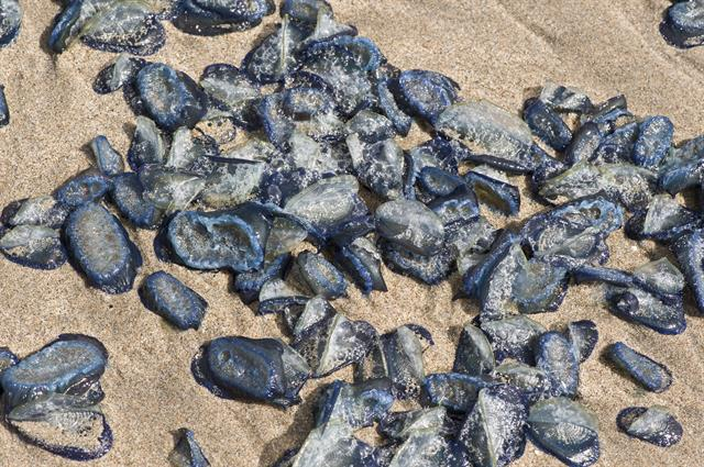 Velella velella photo