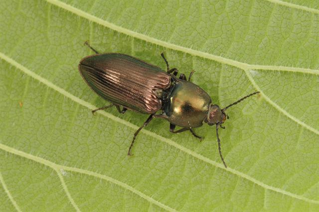 Selatosomus aeneus photo