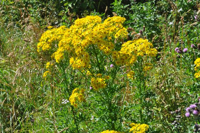 Séneçon jacobee (Senecio jacobaea) photo
