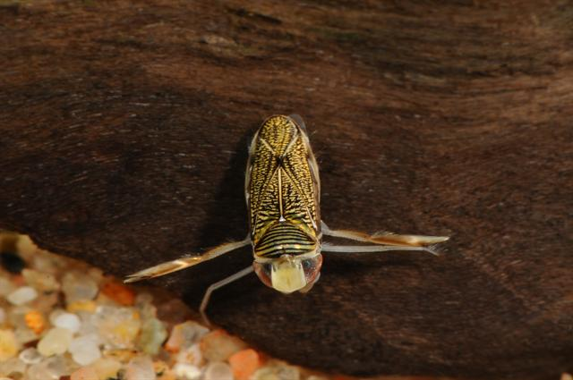 Sigara lateralis photo
