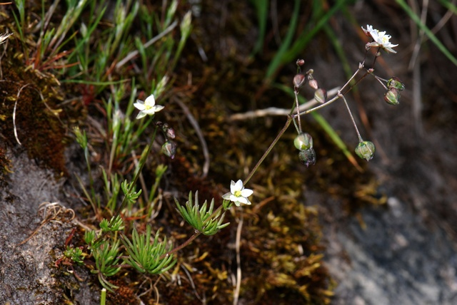 Spargoute (Spergula morisonii) photo