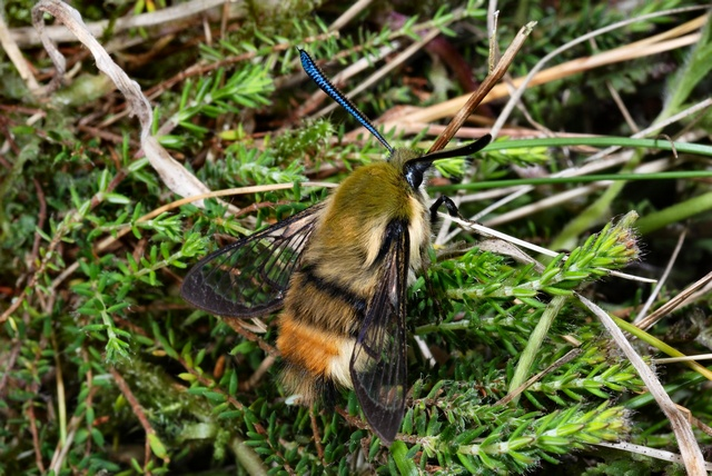 Sphinx bourdon (Hemaris tityus) photo