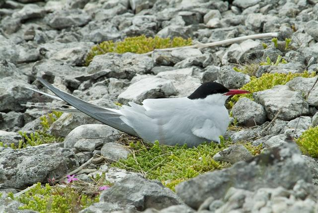 Sterne arctique (Sterna paradisaea) photo